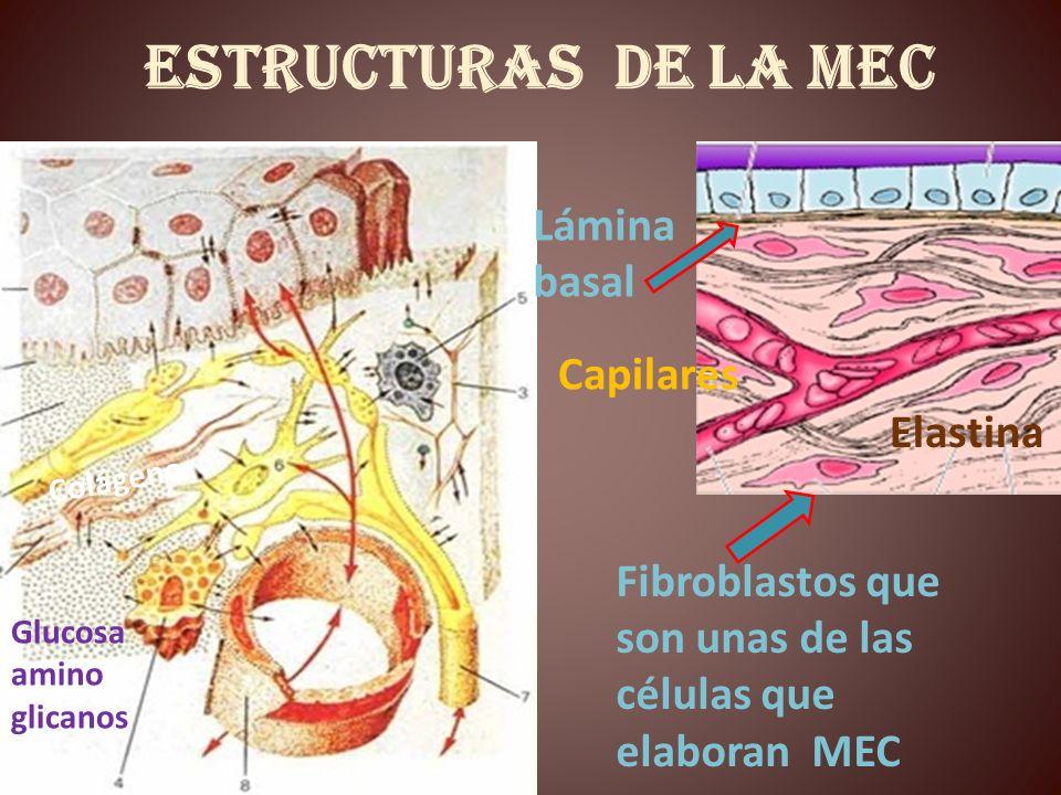 Estructuras de la MEC Capilares Fibroblastos que son unas de las células que elaboran MEC Colágeno Elastina Glucosa amino glicanos Lámina basal