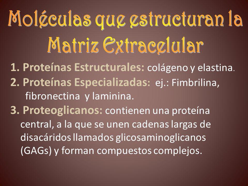 1. Proteínas Estructurales: colágeno y elastina. 2. Proteínas Especializadas : ej.: Fimbrilina, fibronectina y laminina. 3. Proteoglicanos: contienen
