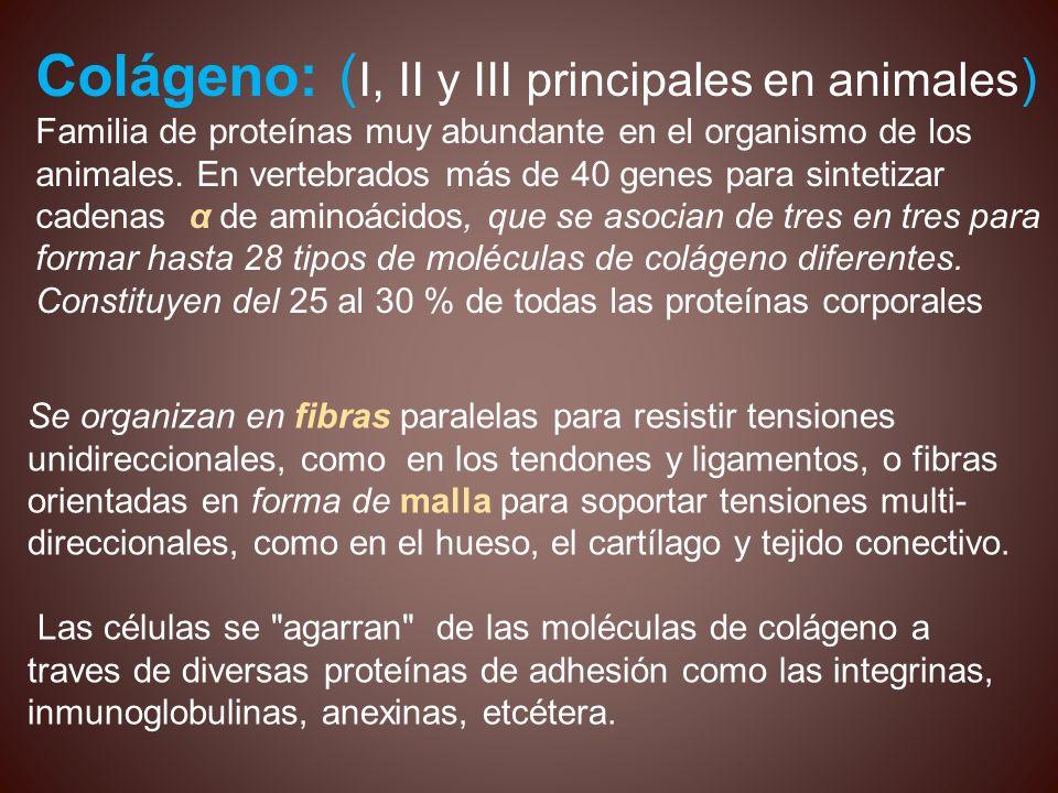 Colágeno: ( I, II y III principales en animales ) Familia de proteínas muy abundante en el organismo de los animales. En vertebrados más de 40 genes p