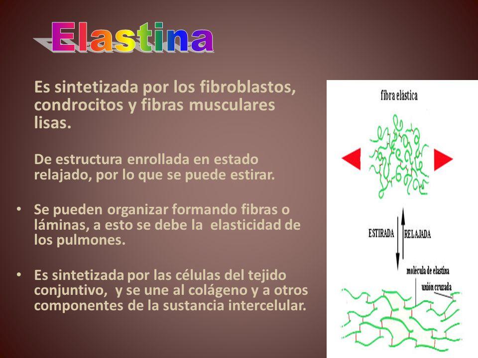 Es sintetizada por los fibroblastos, condrocitos y fibras musculares lisas. De estructura enrollada en estado relajado, por lo que se puede estirar. S
