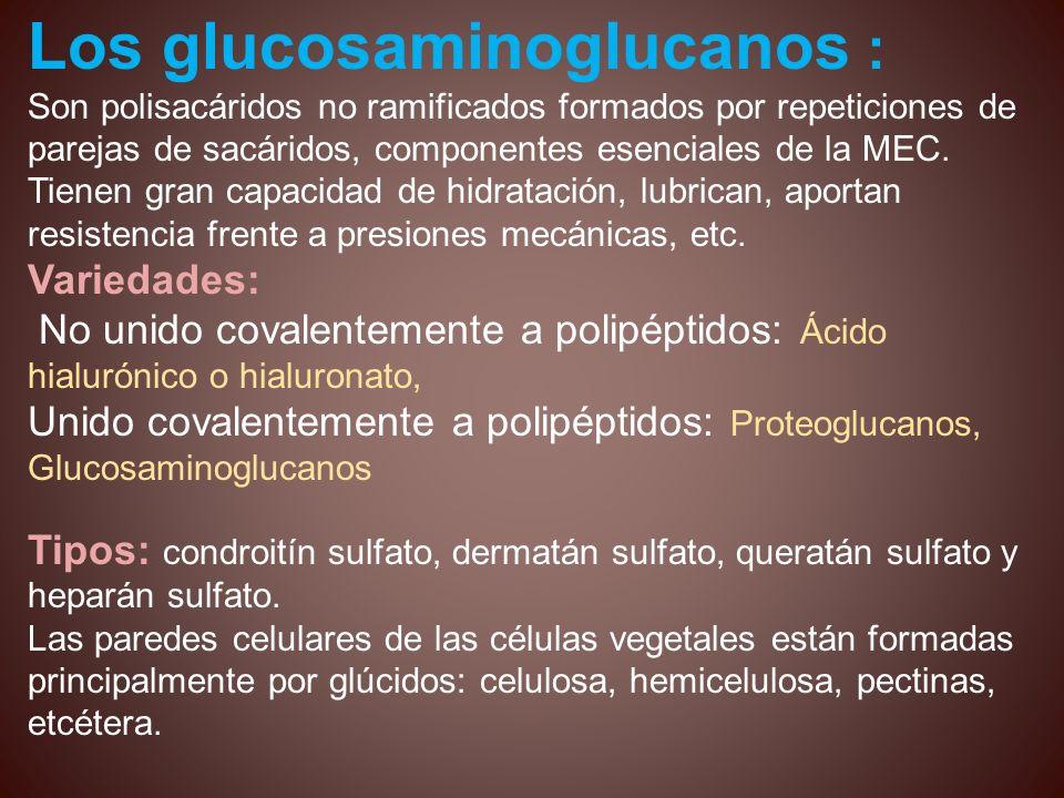 Los glucosaminoglucanos : Son polisacáridos no ramificados formados por repeticiones de parejas de sacáridos, componentes esenciales de la MEC. Tienen