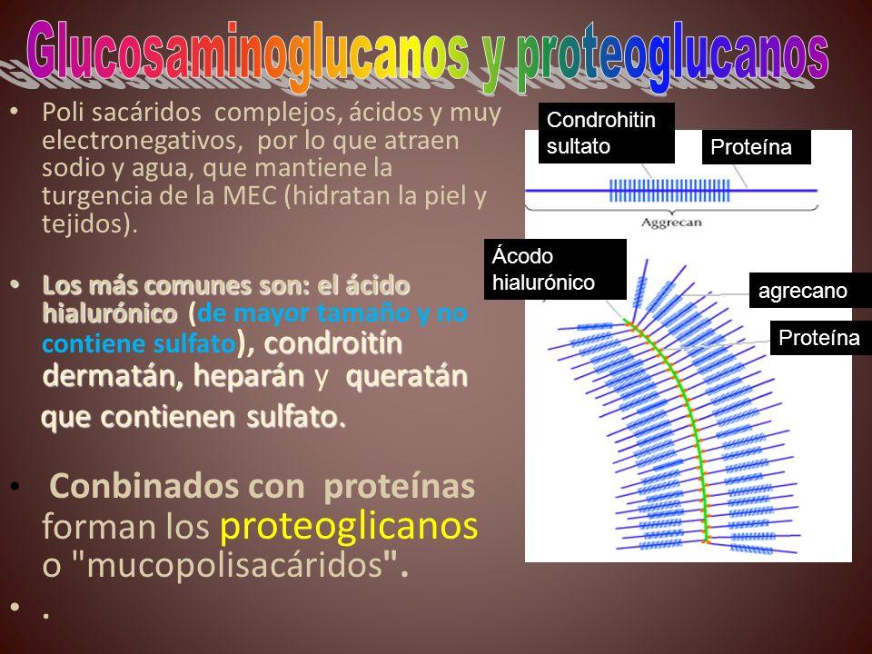 Poli sacáridos complejos, ácidos y muy electronegativos, por lo que atraen sodio y agua, que mantiene la turgencia de la MEC (hidratan la piel y tejid