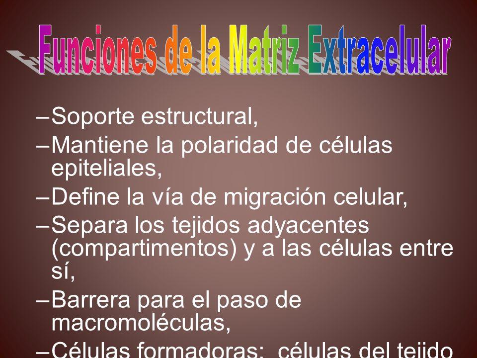 –Soporte estructural, –Mantiene la polaridad de células epiteliales, –Define la vía de migración celular, –Separa los tejidos adyacentes (compartiment
