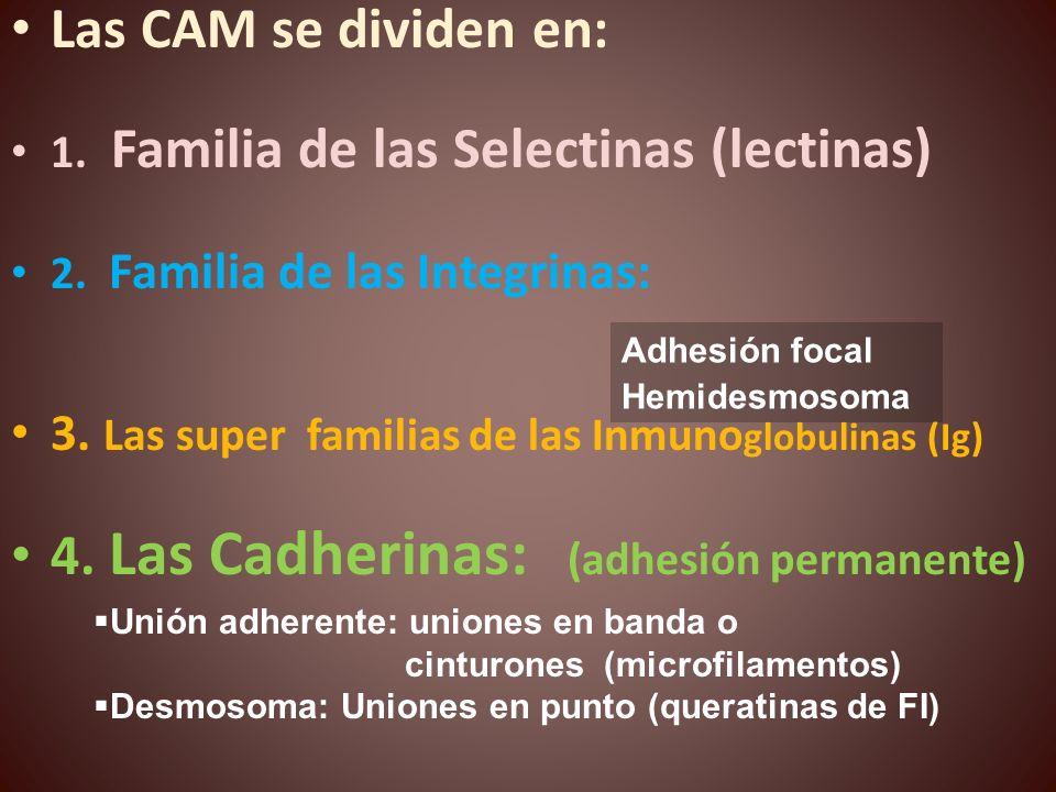 Las CAM se dividen en: 1. Familia de las Selectinas (lectinas) 2. Familia de las Integrinas: 3. Las super familias de las Inmuno globulinas (Ig) 4. La