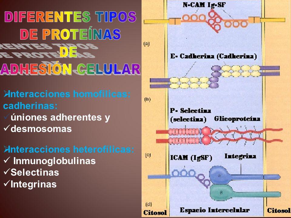 Interacciones homofílicas: cadherinas: úniones adherentes y desmosomas Interacciones heterofílicas: Inmunoglobulinas Selectinas Integrinas