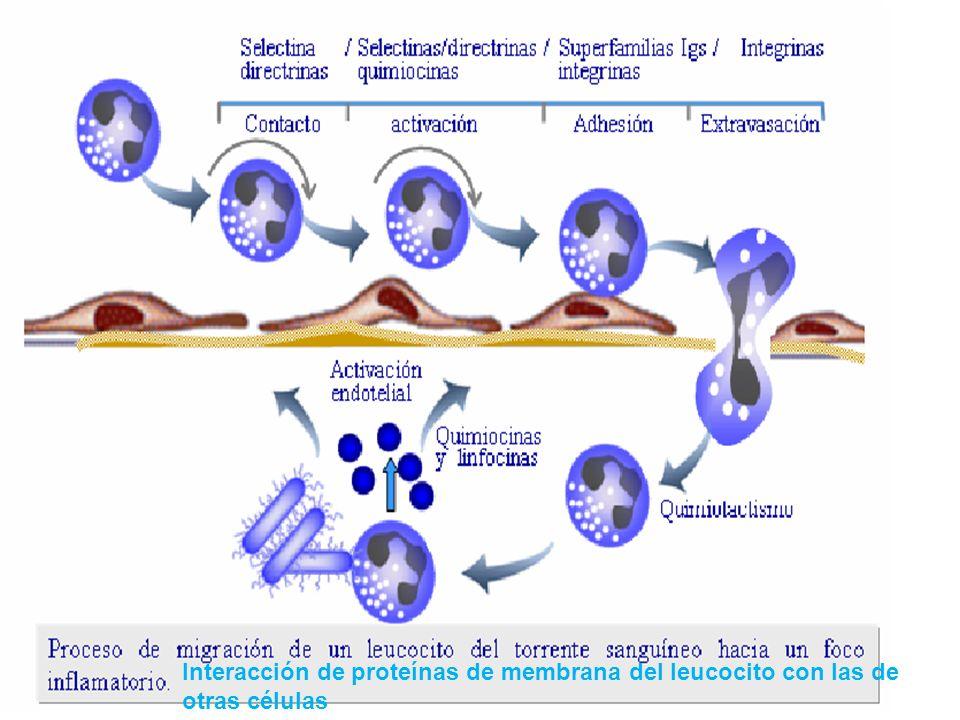- Participan en la adhesión homofila (una molécula de adhesión de la superficie se une a la misma molécula de superficie de otra célula), es independi