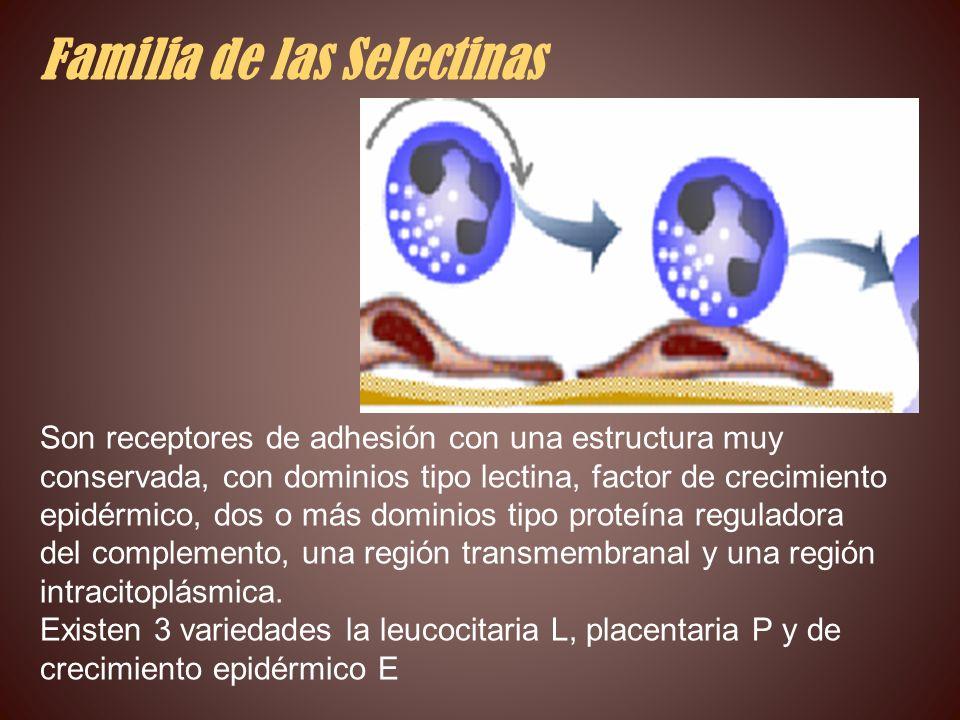 Familia de las Selectinas Son receptores de adhesión con una estructura muy conservada, con dominios tipo lectina, factor de crecimiento epidérmico, d