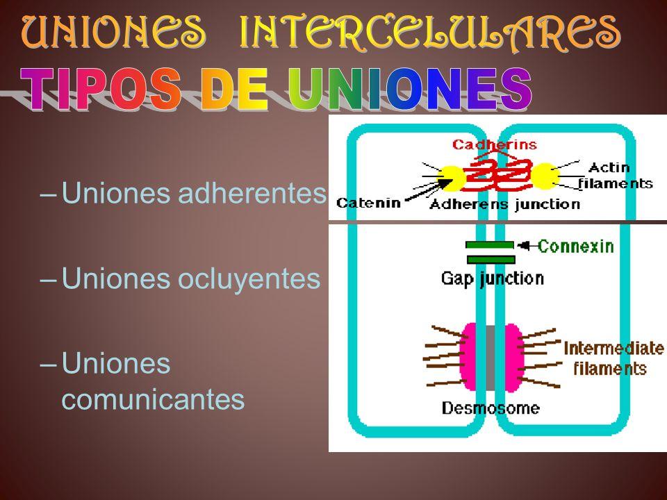 –Uniones adherentes –Uniones ocluyentes –Uniones comunicantes