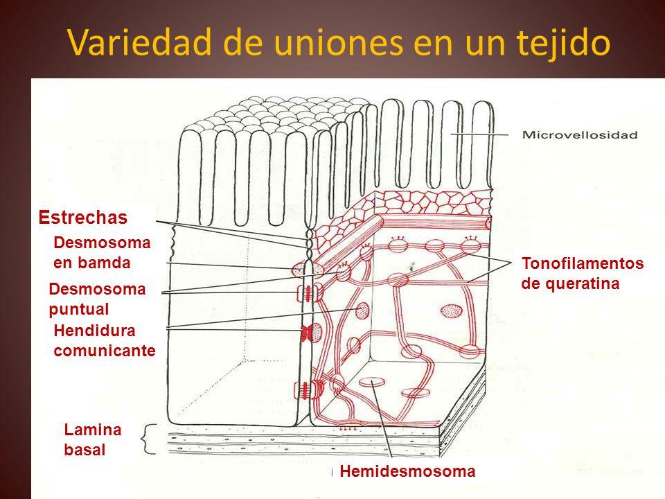 Variedad de uniones en un tejido M 1 Estrechas Hendidura comunicante Desmosoma puntual Desmosoma en bamda Tonofilamentos de queratina Hemidesmosoma La