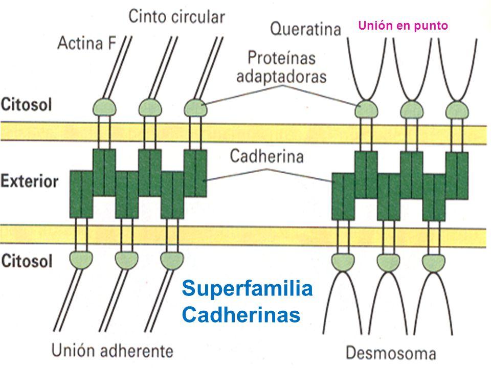 Las interacciones homofílicas entre las cadherinas y dependientes de calcio, median dos tipos de adhesiones estables célula-célula: 1.Uniones Adherent