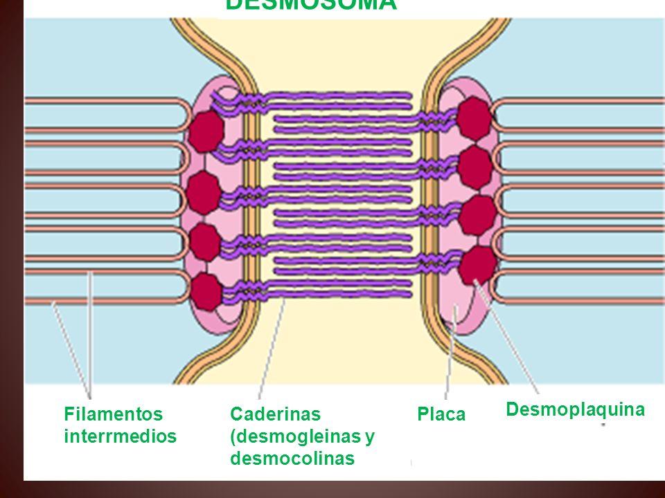 queratina desmoplaquina filamentos de desmina Contienen proteínas especializadas, tales como la queratina (misma proteína que se encuentra en las uñas