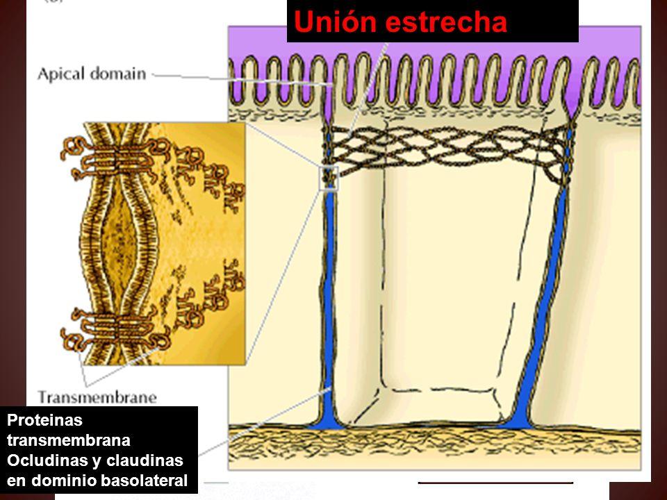 En este tipo de relación entre células, hileras de proteínas integrales de membrana, como la ocludina y la claudina, forman uniones extremadamente fue