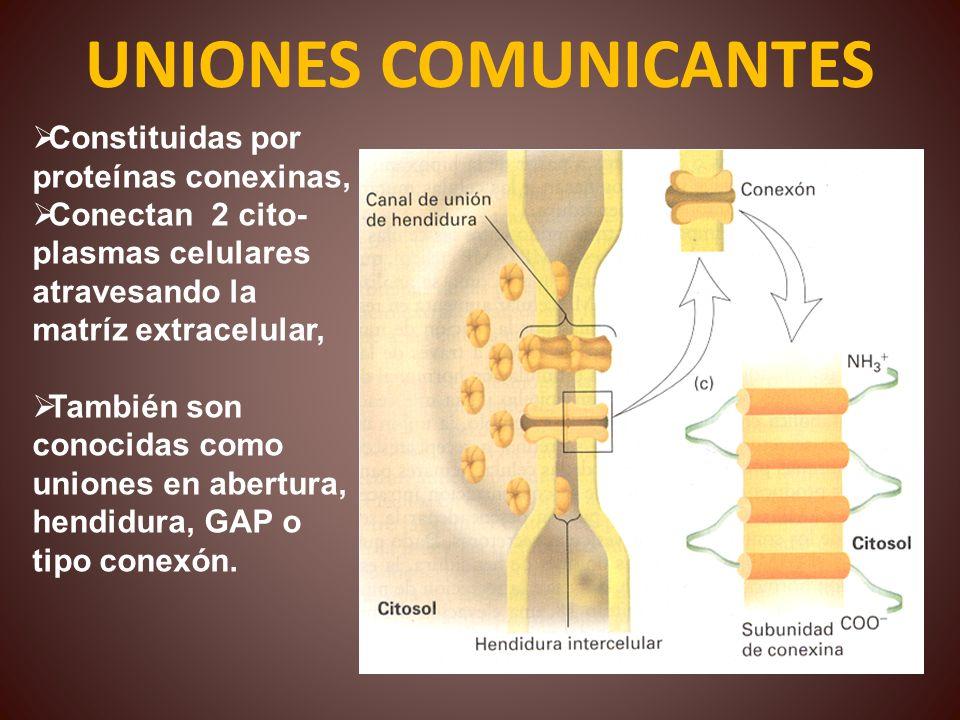 UNIONES COMUNICANTES Constituidas por proteínas conexinas, Conectan 2 cito- plasmas celulares atravesando la matríz extracelular, También son conocida