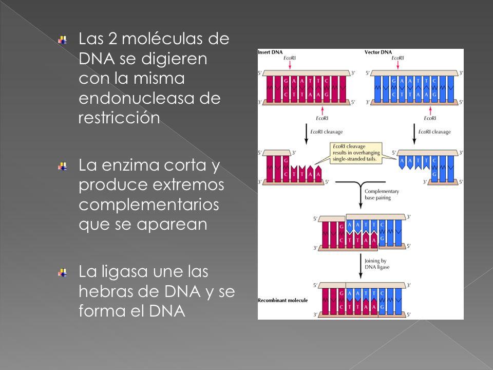 Las 2 moléculas de DNA se digieren con la misma endonucleasa de restricción La enzima corta y produce extremos complementarios que se aparean La ligas