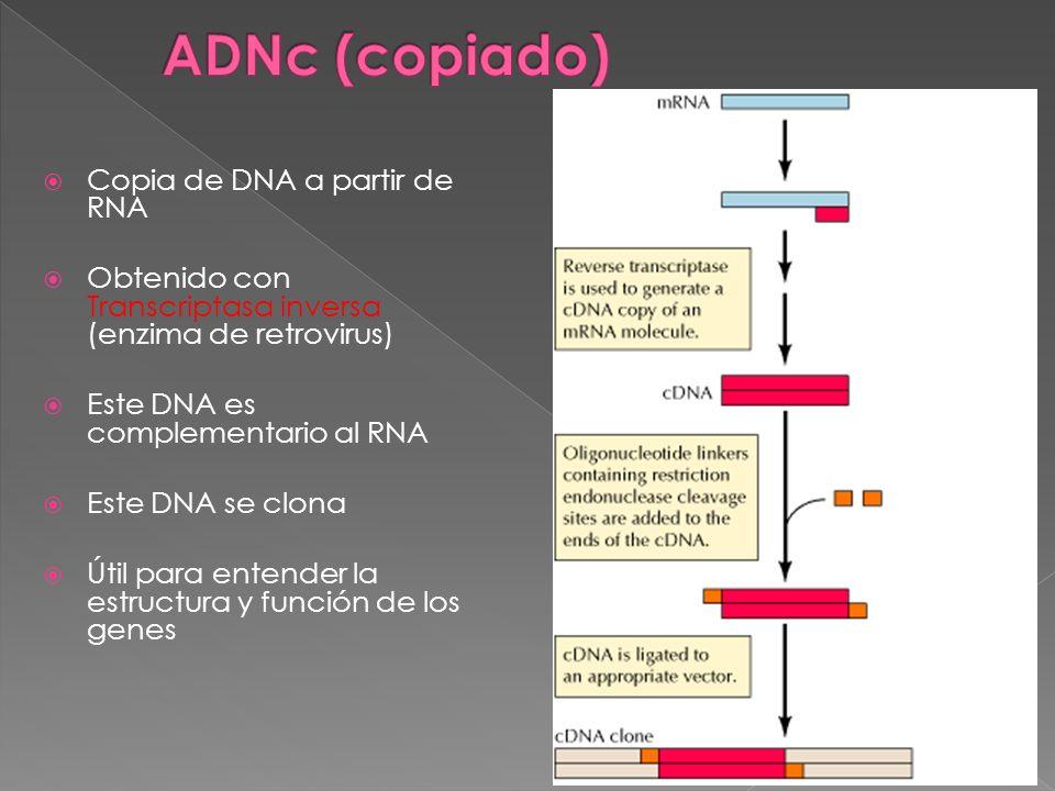 Copia de DNA a partir de RNA Obtenido con Transcriptasa inversa (enzima de retrovirus) Este DNA es complementario al RNA Este DNA se clona Útil para e