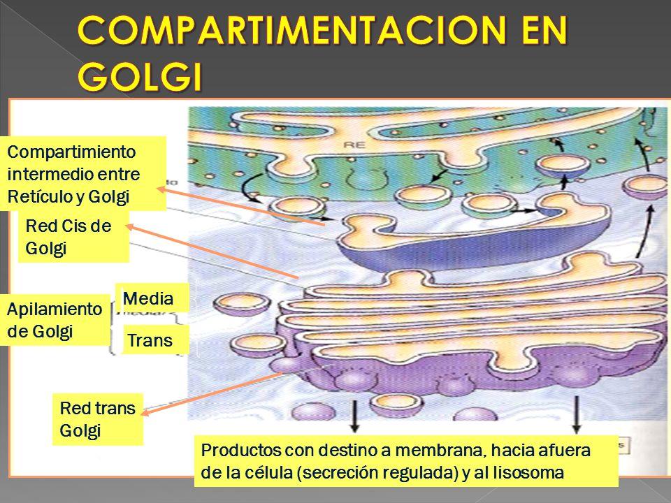 Compartimiento intermedio entre Retículo y Golgi Red Cis de Golgi Media Apilamiento de Golgi Trans Red trans Golgi Productos con destino a membrana, h