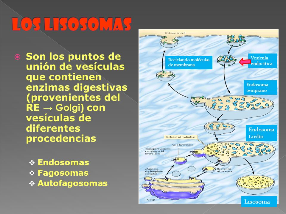 Son los puntos de unión de vesículas que contienen enzimas digestivas (provenientes del RE Golgi) con vesículas de diferentes procedencias Endosomas F