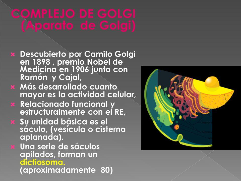 COMPLEJO DE GOLGI (Aparato de Golgi) Descubierto por Camilo Golgi en 1898, premio Nobel de Medicina en 1906 junto con Ramón y Cajal, Más desarrollado