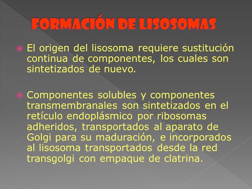 El origen del lisosoma requiere sustitución continua de componentes, los cuales son sintetizados de nuevo. Componentes solubles y componentes transmem