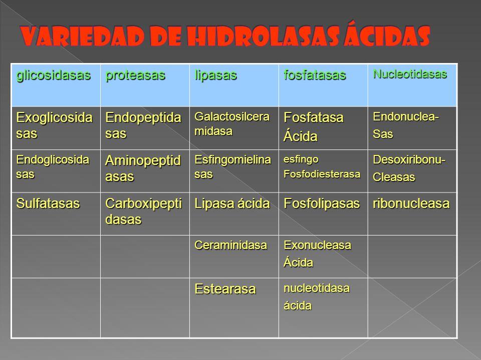 glicosidasasproteasaslipasasfosfatasasNucleotidasas Exoglicosida sas Endopeptida sas Galactosilcera midasa FosfatasaÁcidaEndonuclea-Sas Endoglicosida