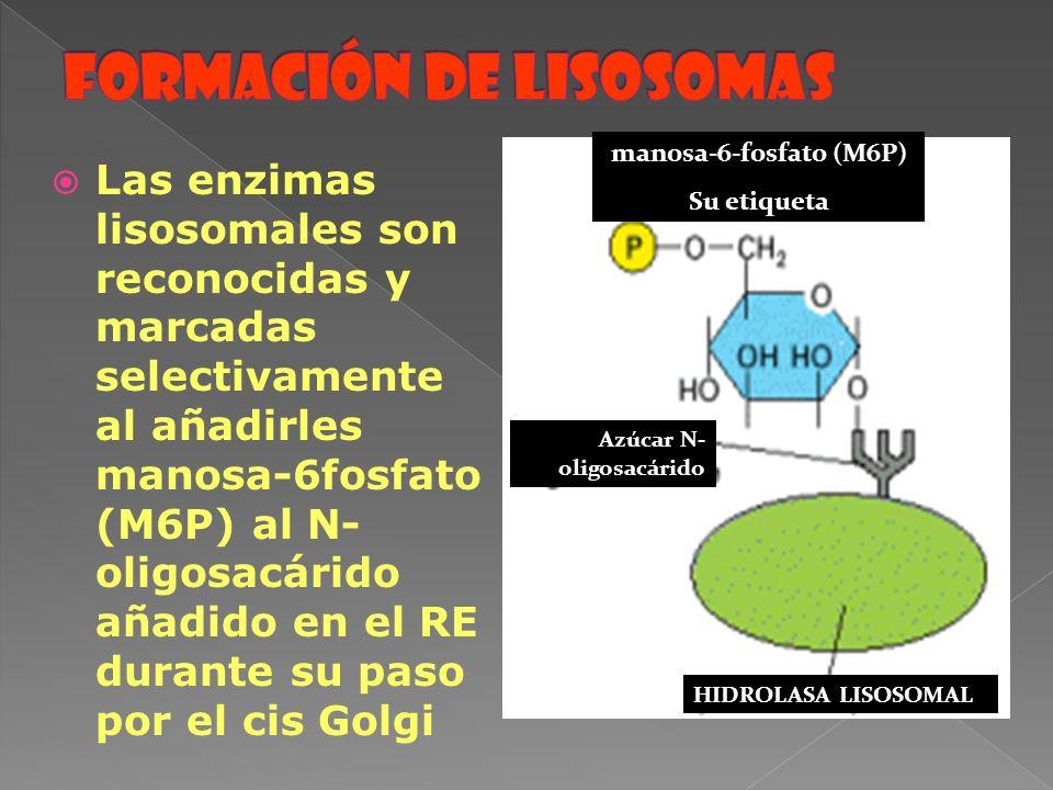 Las enzimas lisosomales son reconocidas y marcadas selectivamente al añadirles manosa-6fosfato (M6P) al N- oligosacárido añadido en el RE durante su p