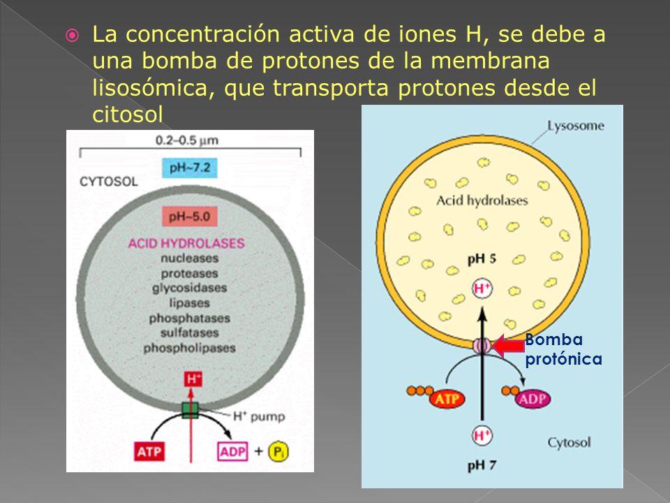 La concentración activa de iones H, se debe a una bomba de protones de la membrana lisosómica, que transporta protones desde el citosol Bomba protónic