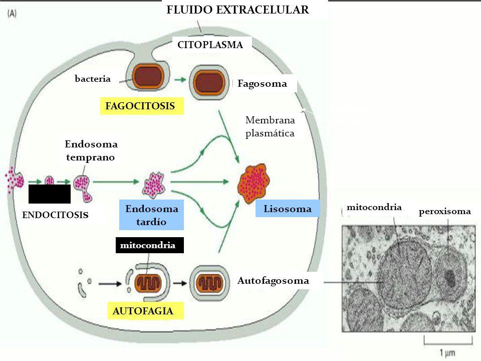 bacteria FLUIDO EXTRACELULAR CITOPLASMA FAGOCITOSIS Fagosoma Membrana plasmática ENDOCITOSI s S Endosoma tardío Endosoma temprano Lisosoma mitocondria