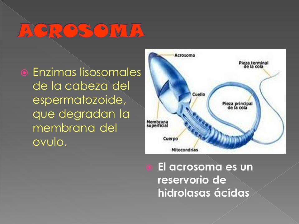 Enzimas lisosomales de la cabeza del espermatozoide, que degradan la membrana del ovulo. El acrosoma es un reservorio de hidrolasas ácidas