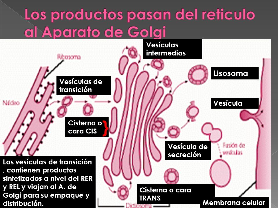 Vesículas intermedias Vesículas de transición Cisterna o cara CIS } Las vesículas de transición, contienen productos sintetizados a nivel del RER y RE
