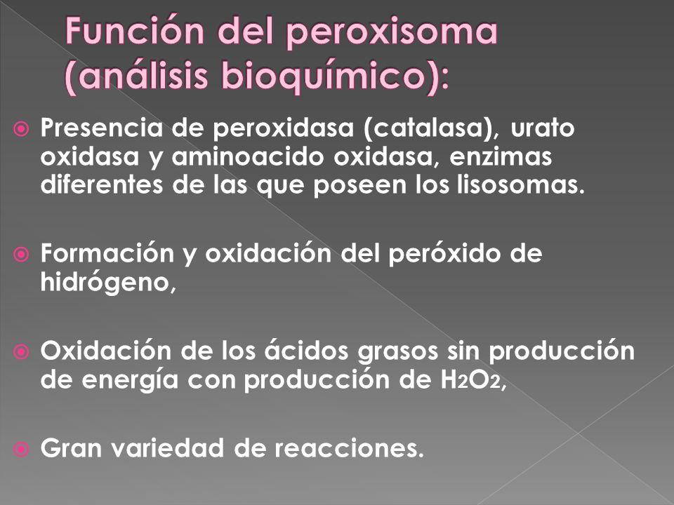 Presencia de peroxidasa (catalasa), urato oxidasa y aminoacido oxidasa, enzimas diferentes de las que poseen los lisosomas. Formación y oxidación del