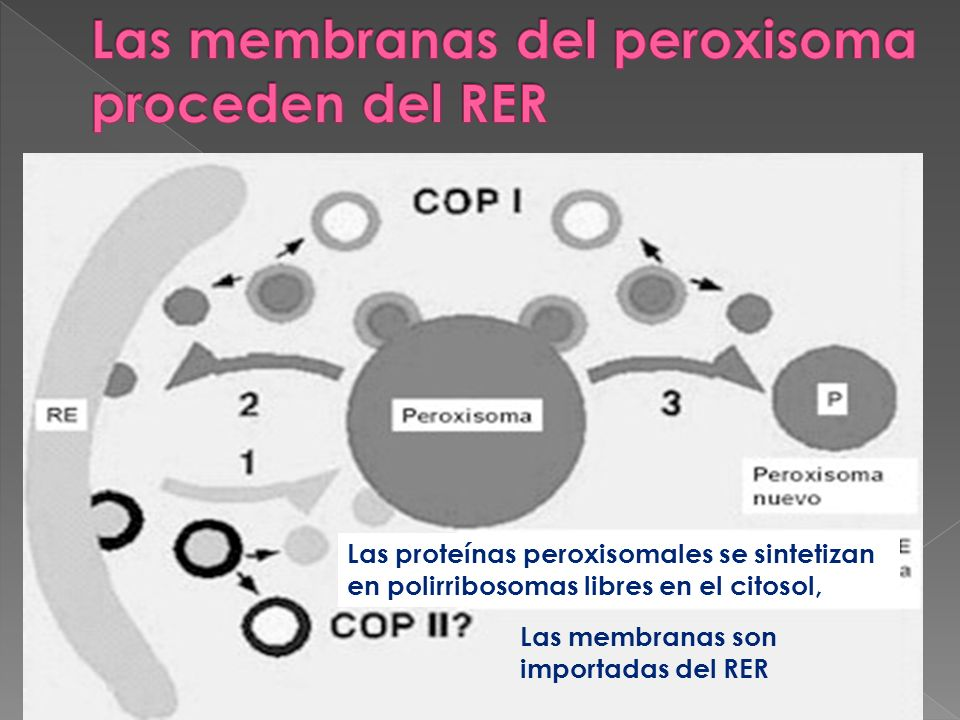 Las proteínas peroxisomales se sintetizan en polirribosomas libres en el citosol, Las membranas son importadas del RER