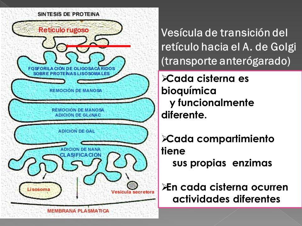 Cada cisterna es bioquímica y funcionalmente diferente. Cada compartimiento tiene sus propias enzimas En cada cisterna ocurren actividades diferentes