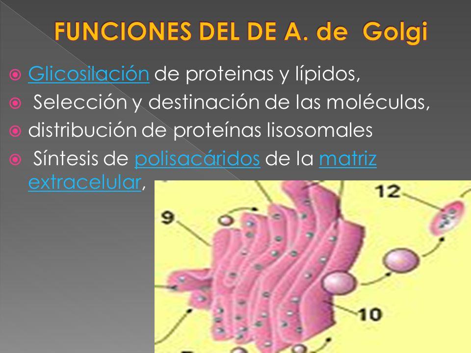 Glicosilación de proteinas y lípidos, Glicosilación Selección y destinación de las moléculas, distribución de proteínas lisosomales Síntesis de polisa