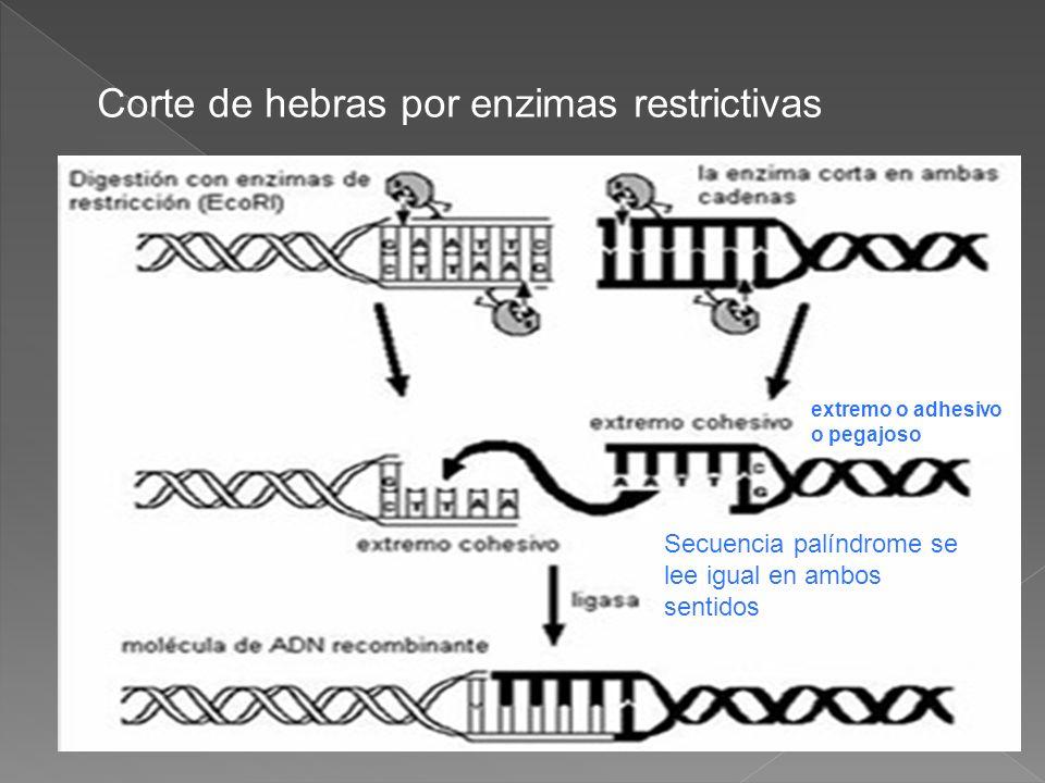 Corte de hebras por enzimas restrictivas extremo o adhesivo o pegajoso Secuencia palíndrome se lee igual en ambos sentidos