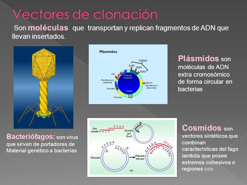 Bacteriófagos: son virus que sirven de portadores de Material genético a bacterias Plásmidos son moléculas de ADN extra cromosómico de forma circular