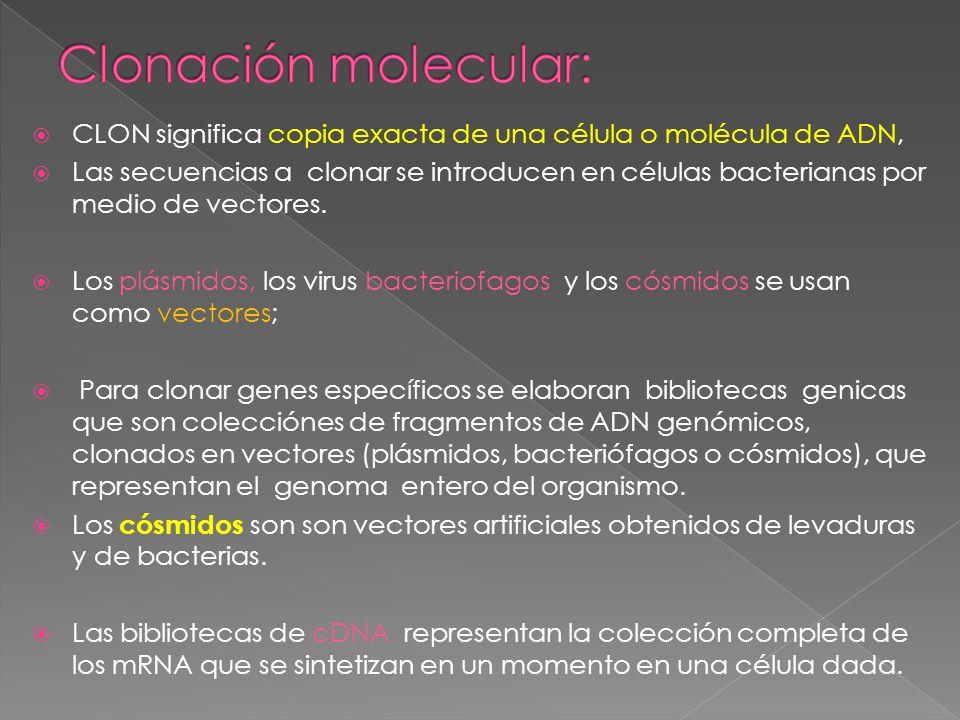 CLON significa copia exacta de una célula o molécula de ADN, Las secuencias a clonar se introducen en células bacterianas por medio de vectores. Los p