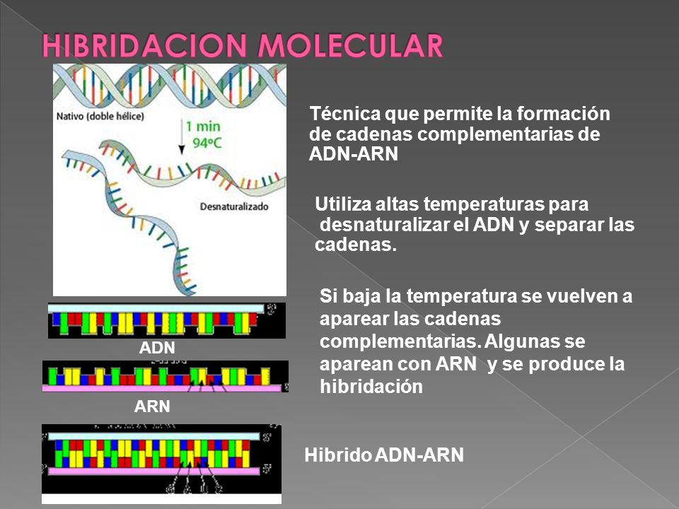 Técnica que permite la formación de cadenas complementarias de ADN-ARN Utiliza altas temperaturas para desnaturalizar el ADN y separar las cadenas. Si