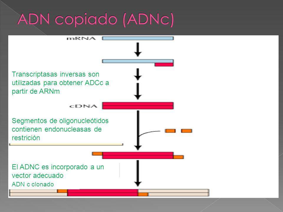 Transcriptasas inversas son utilizadas para obtener ADCc a partir de ARNm Segmentos de oligonucleótidos contienen endonucleasas de restrición El ADNC