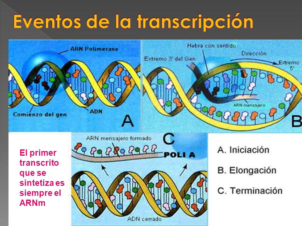 El primer transcrito que se sintetiza es siempre el ARNm
