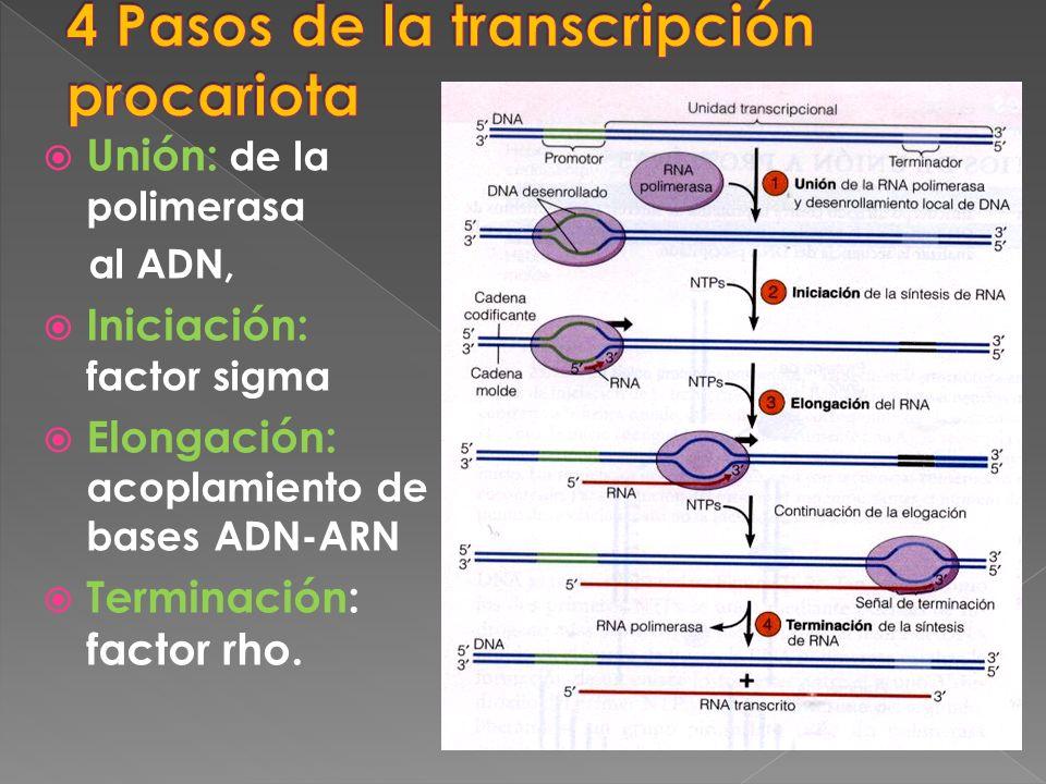 Unión: de la polimerasa al ADN, Iniciación: factor sigma Elongación: acoplamiento de bases ADN-ARN Terminación: factor rho.
