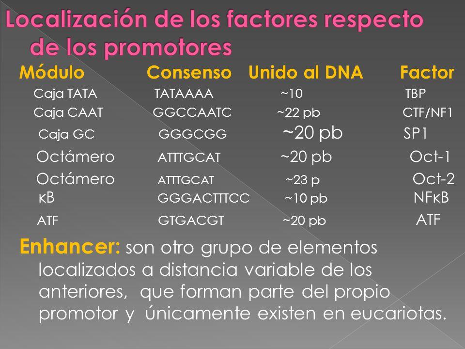 Módulo Consenso Unido al DNA Factor Caja TATA TATAAAA ~10 TBP Caja CAAT GGCCAATC ~22 pb CTF/NF1 Caja GC GGGCGG ~ 20 pb SP1 Octámero ATTTGCAT ~20 pb Oc