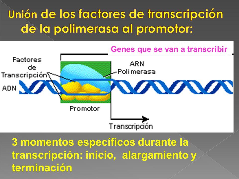 3 momentos específicos durante la transcripción: inicio, alargamiento y terminación Genes que se van a transcribir