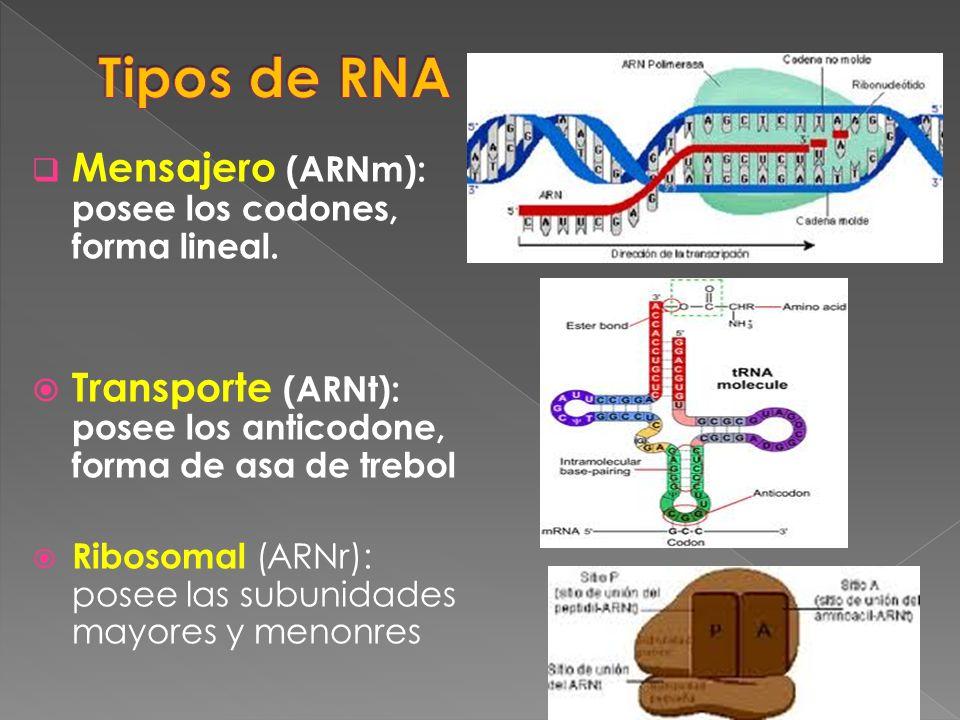 Mensajero (ARNm): posee los codones, forma lineal. Transporte (ARNt): posee los anticodone, forma de asa de trebol Ribosomal (ARNr): posee las subunid