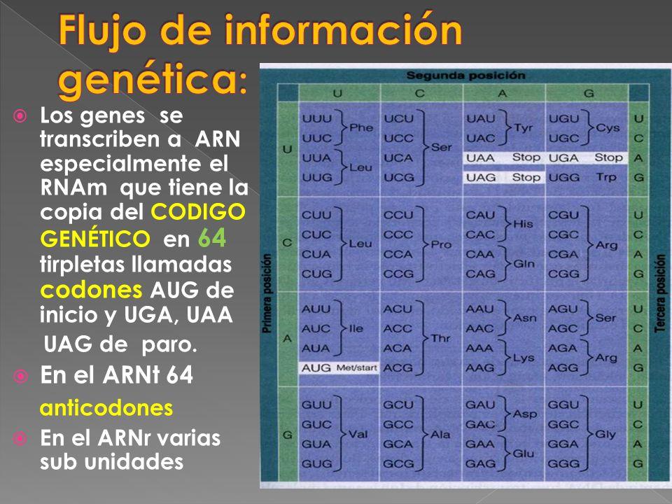 Los genes se transcriben a ARN especialmente el RNAm que tiene la copia del CODIGO GENÉTICO en 64 tirpletas llamadas codones AUG de inicio y UGA, UAA