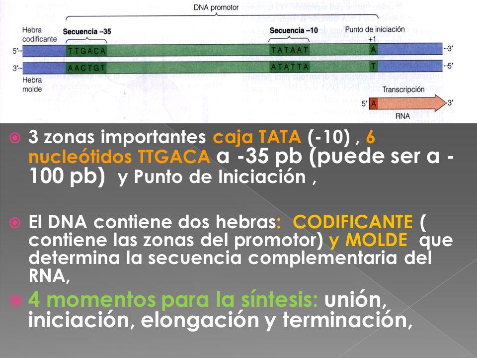3 zonas importantes caja TATA (-10), 6 nucleótidos TTGACA a -35 pb (puede ser a - 100 pb) y Punto de Iniciación, El DNA contiene dos hebras: CODIFICAN