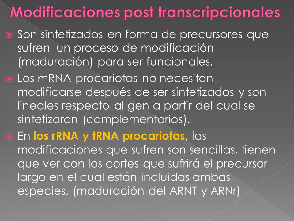 Son sintetizados en forma de precursores que sufren un proceso de modificación (maduración) para ser funcionales. Los mRNA procariotas no necesitan mo