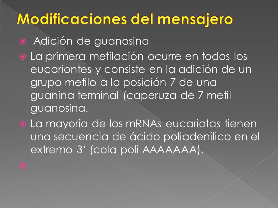 Adición de guanosina La primera metilación ocurre en todos los eucariontes y consiste en la adición de un grupo metilo a la posición 7 de una guanina