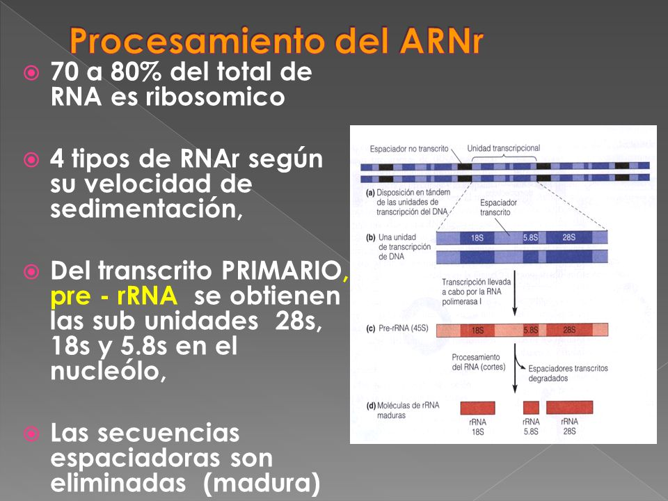 70 a 80% del total de RNA es ribosomico 4 tipos de RNAr según su velocidad de sedimentación, Del transcrito PRIMARIO, pre - rRNA se obtienen las sub u