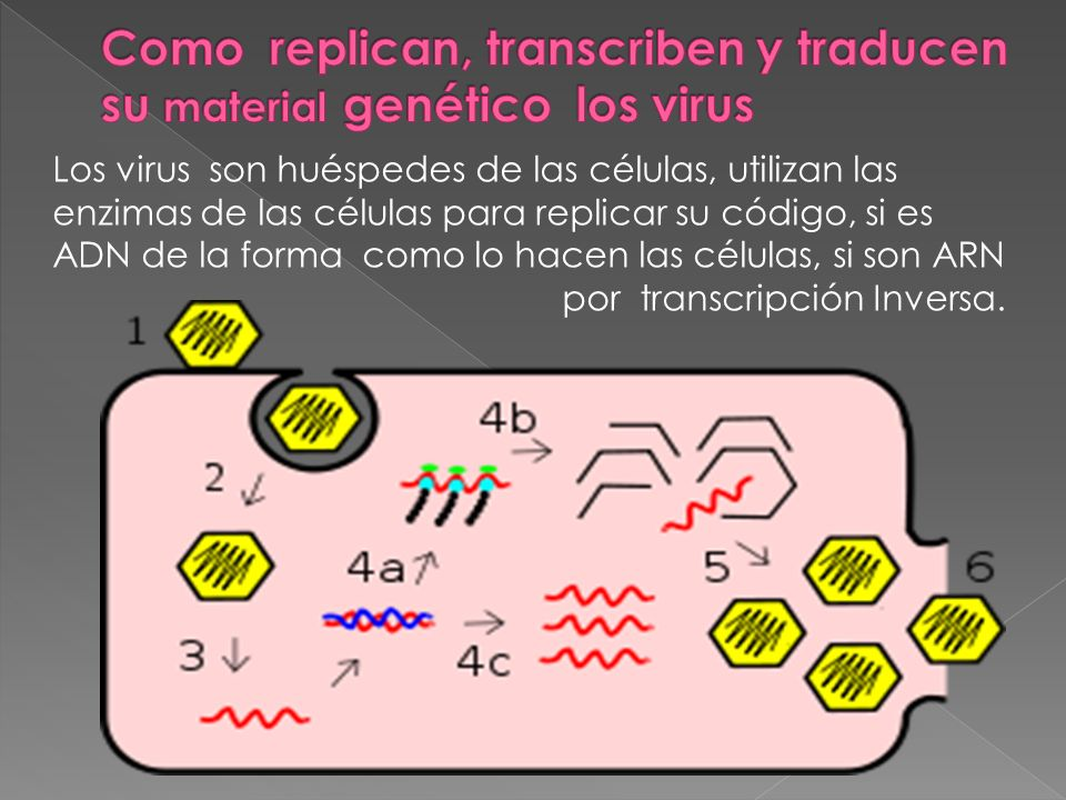 Los virus son huéspedes de las células, utilizan las enzimas de las células para replicar su código, si es ADN de la forma como lo hacen las células,
