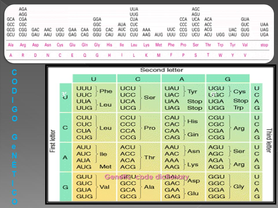 Genetic code dictionary 35 CODIGOGeNÉTICOCODIGOGeNÉTICO